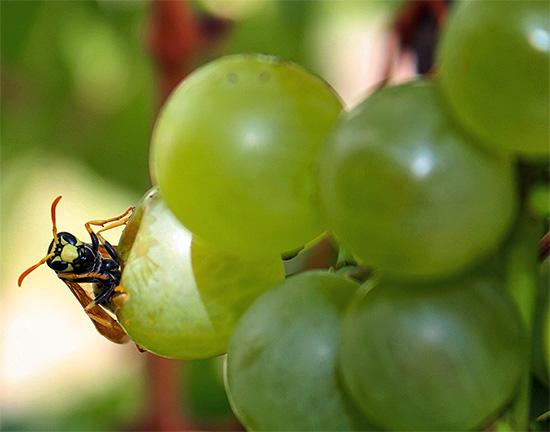 Компромиссный вариант - защитить мешочками лишь наиболее ценные сорта винограда, а менее ценные оставить на откуп осам.