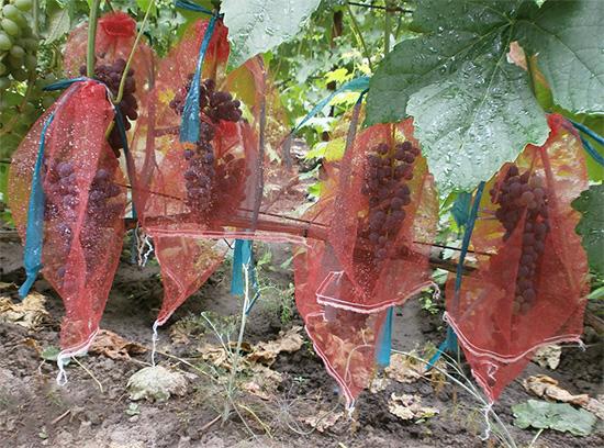 Следует подбирать защитные мешки с запасом на вырост грозди.