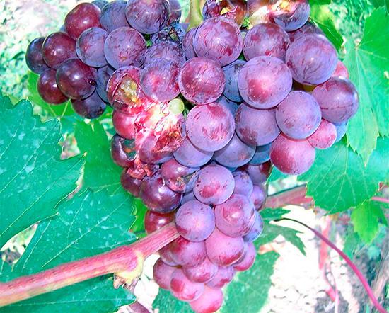 На фото показана виноградная гроздь, поврежденная осами.