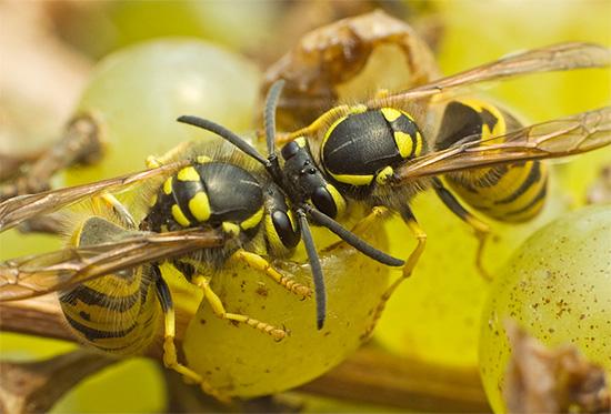 Иногда осы специально повреждают побольше ягод, чтобы впоследствии полакомиться их забродившим соком.