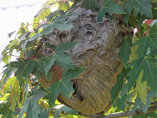 Иногда осиные гнезда бывает весьма проблематично найти - например, когда они спрятаны в листве деревьев.