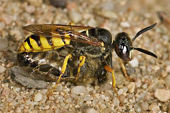 Филант использует пчел в качестве корма для своих личинок.
