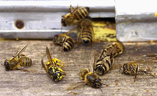 Обычные бумажные осы редко уничтожают пчел в улье, однако иногда вполне могут стать причиной гибели ослабленной семьи.