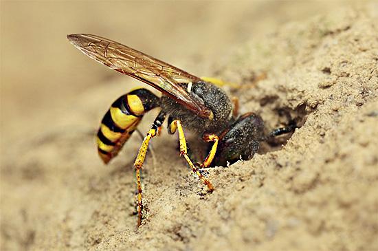 На фотографии показано, как самка филанта устраивает свою норку на песчаном участке.