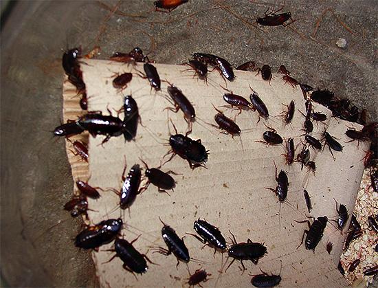 Когда черных тараканов в квартире становится слишком много, помещение зачастую приобретает весьма неприятный запах.