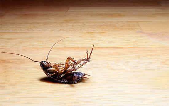 Даже отравленные тараканы могут представлять опасность - прежде всего, для домашних животных, которые могут их съесть...