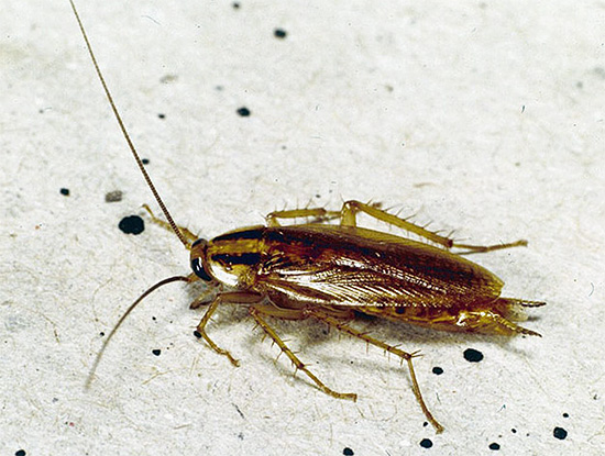 На самом деле тараканы далеко не столь безобидны, как может показаться на первый взгляд.