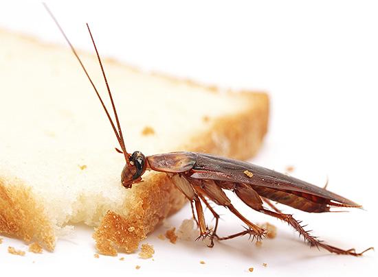 Источником опасного заражения человека может стать обычный хлеб, по которому бегали тараканы.
