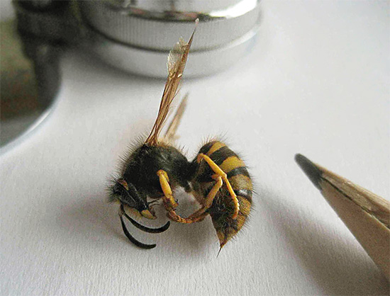 Действительно ли осы имеют жало, подобно пчелам, и если да, то почему они не оставляют его в коже при укусе? Давайте разбираться...