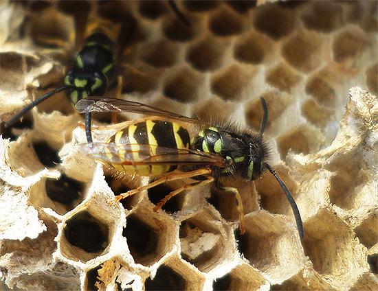 Привычные нам бумажные осы используют свое жало довольно редко, преимущественно обходясь при охоте своими мощными челюстями.