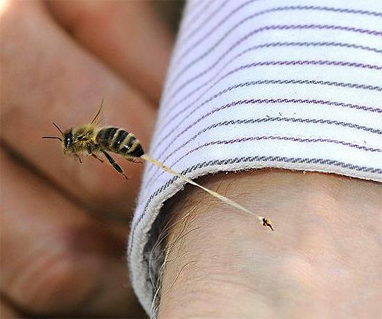 Пчелиное жало обычно остается в коже жертвы, отрываясь с частью внутренних органов насекомого.