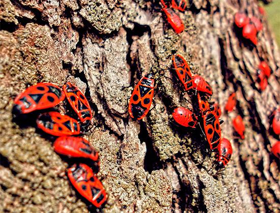 Красноклопы обыкновенные (клопы-солдатики) на коре дерева.