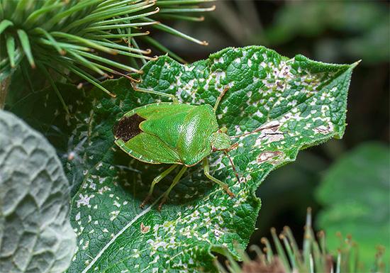 Щитник зеленый лесной способен повреждать культурные растения.
