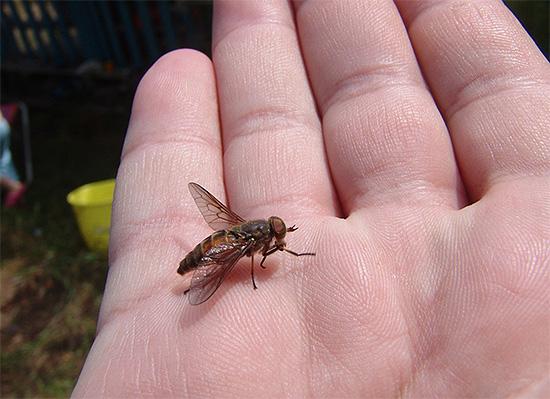 С помощью лампы от насекомых можно бороться, например, с мухами и слепнями на фермах.