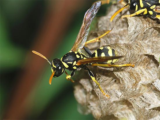 На фото показана взрослая особь бумажной осы.