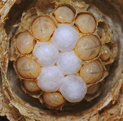 Личинки обыкновенной бумажной осы в гнезде.