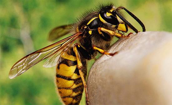 Может ли представлять какую бы то ни было пользу для человека укус осы, или же он, наоборот, наносит больше вреда здоровью - давайте разбираться...