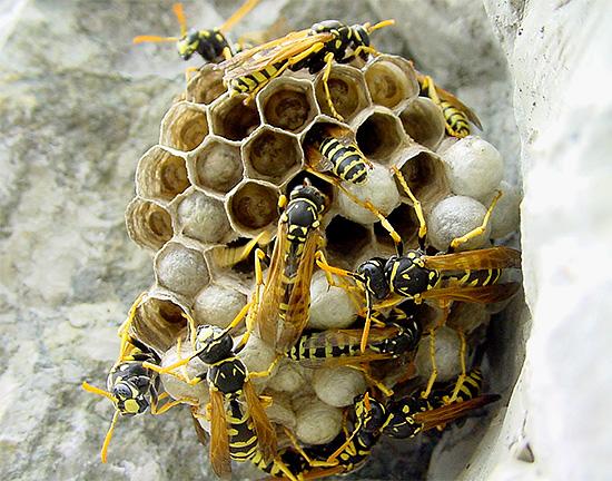 В отличие от пчелиного яда, осиный яд получать в больших количествах было бы довольно проблематично.