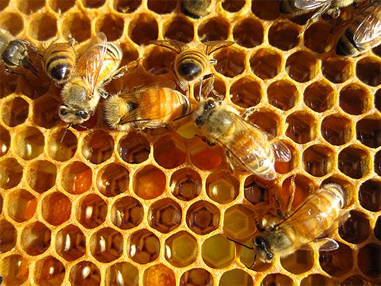 Говоря о пользе пчелиного яда, целители не акцентируют внимание на его опасности, как бы забывая о том, что он может нанести и вред здоровью человека.
