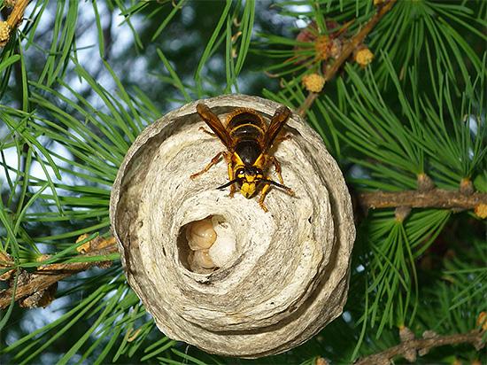 На фотографии показано гнездо так называемых диких ос (внутри видны личинки).