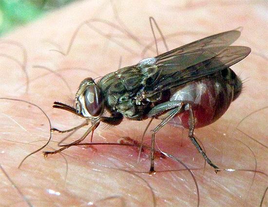 Многие насекомые являются переносчиками возбудителей опасных заболеваний, и без лечения их укусы могут приводить к весьма тяжелым последствиям...