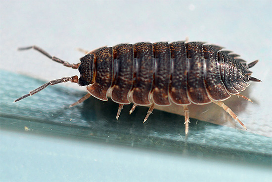 Обычно размеры особей даже у тропических видов не превышают 5-6 см.