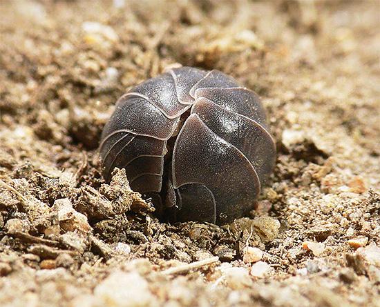 При опасности мокрица пытается свернуться в клубок, защищая мягкое брюшко под жестким хитиновым панцирем.