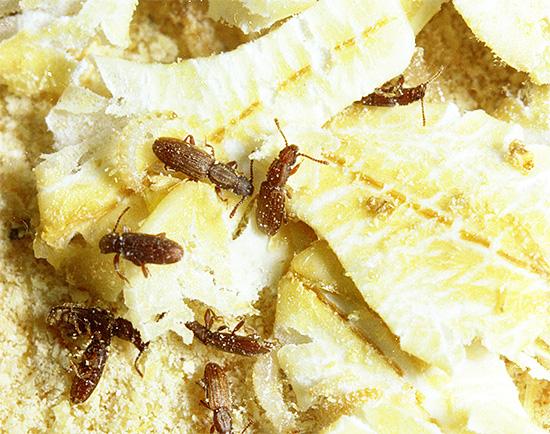 Если не бороться с насекомыми на складах пищевой продукции, то они могут нанести запасам серьезный урон.