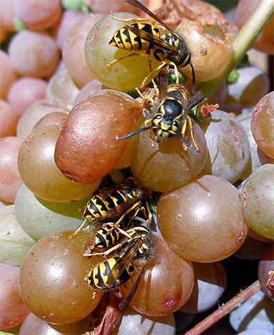На фото показаны осы, питающиеся соком ягод винограда.