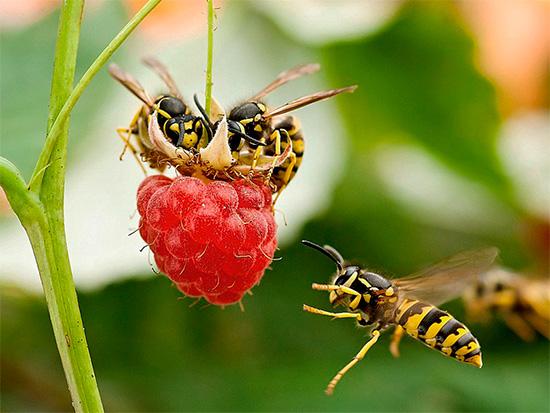 На дачном участке ос нередко можно встретить на ягодах малины.