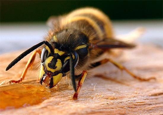 Оса ест пролитый мед...