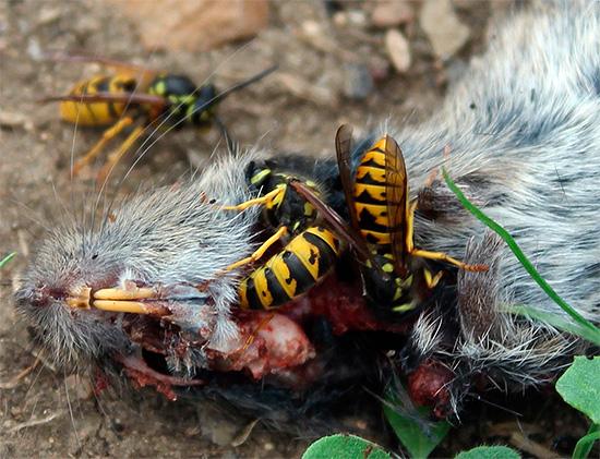 Эти насекомые не брезгуют и падалью, которая послужит источником белковой пищи для подрастающих личинок.
