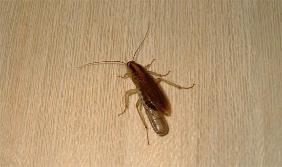 Иногда тараканы способны прятаться в квартире в весьма неожиданных местах, причем даже микроволновка и холодильник тоже не являются исключением...