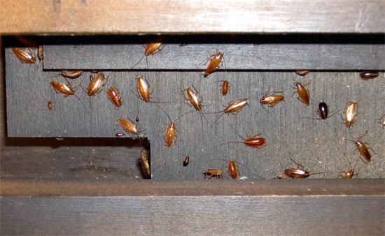 Пример скопления тараканов в мебели.