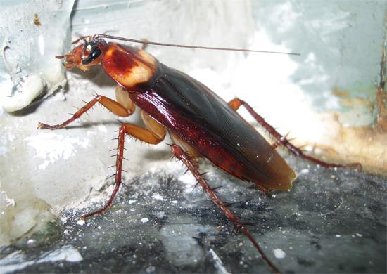 Американский таракан сегодня все чаще встречается и в российских городах.