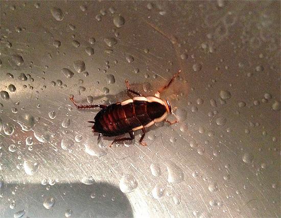 Таракан пьет воду с поверхности раковины