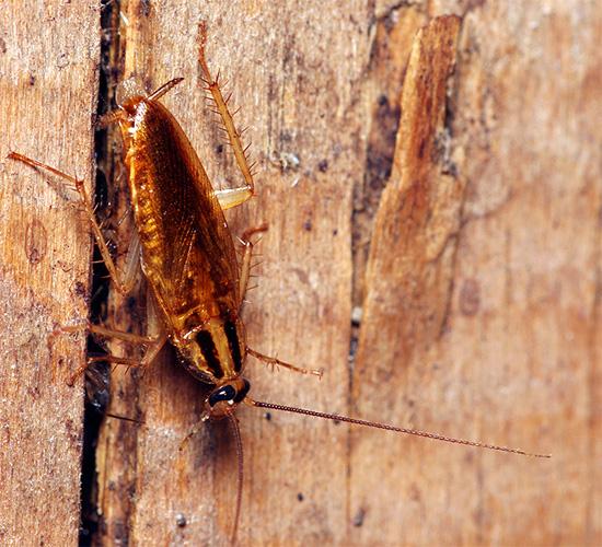 Если в подъезде или у соседей постоянно обитают тараканы, то в вашей квартире регулярно будут появляться разведчики, проверяющие, можно ли остаться здесь надолго.