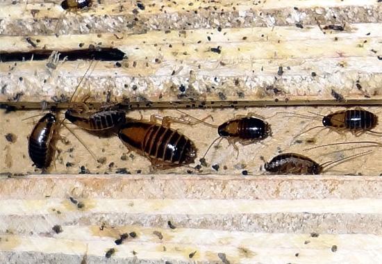 Рыжие тараканы очень любят запах древесины и предпочитают держаться поближе к деревянным изделиям.