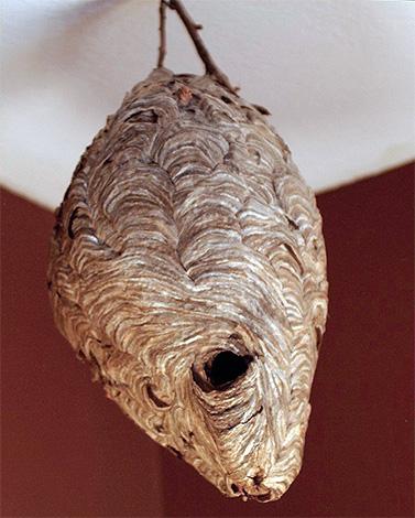 Если гнездо насекомых крепится к основанию тонкой ножкой, то на него легко будет накинуть полиэтиленовый пакет...