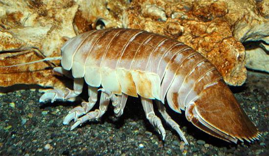 Гигантская мокрица в океанариуме - хорошо видна характерная большая лопасть на конце тела, в которую превратился последний щиток.