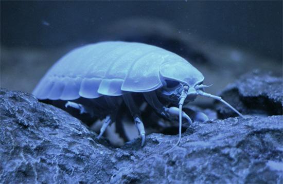 Гигантские изоподы, как правило, обитают на глубине от нескольких сотен до 2000 метров.