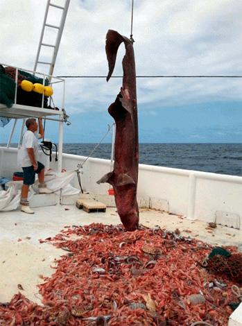 Уникальный случай: на небольшом участке дна вместе с редчайшей в мире акулой в сеть попалось несколько десятков гигантских мокриц.