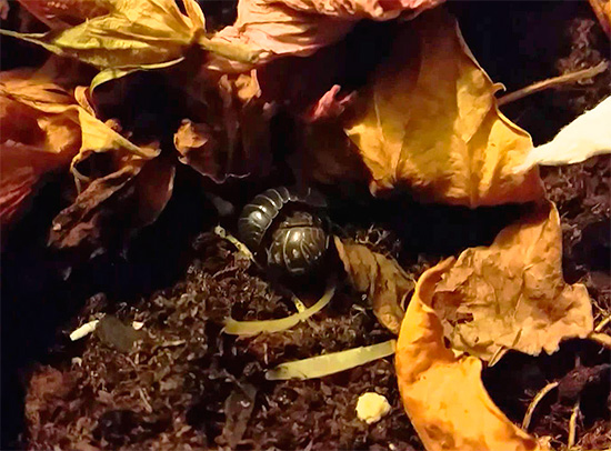 Мокрицы могут прятаться, например, в листовом опаде в палисаднике городского дома.