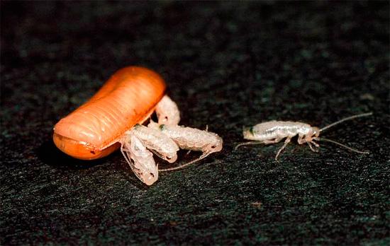Давайте выясним, сколько тараканов может вылупиться из одного яйца и как вообще происходит процесс такого рождения...