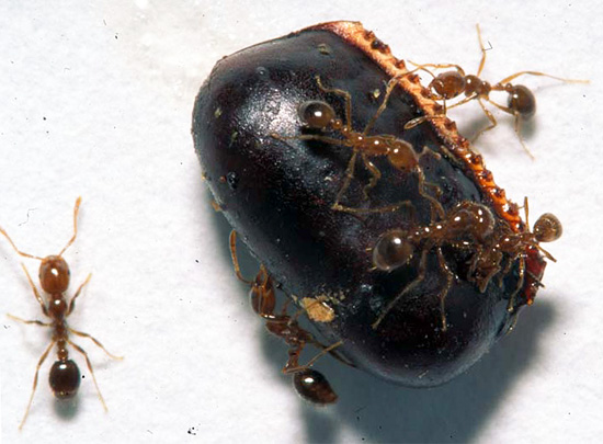 В обычной квартире оотеки черных тараканов поедают их рыжие родственники и муравьи.