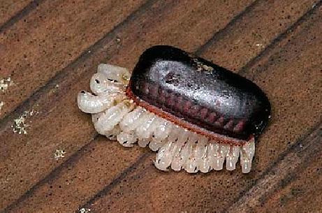 Вылупление личинок черного таракана - они разорвали стенки оотеки, которая стала им мала.