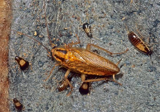 Молодые личинки способны питаться самостоятельно и не нуждаются в длительной заботе взрослой самки.
