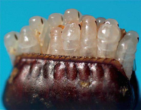 Личинки черного таракана вылупляются из яиц, содержащихся в оотеке.