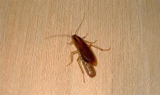 «Беременные» самки рыжих тараканов носят свои оотеки на конце брюшка до самого вылупления личинок...