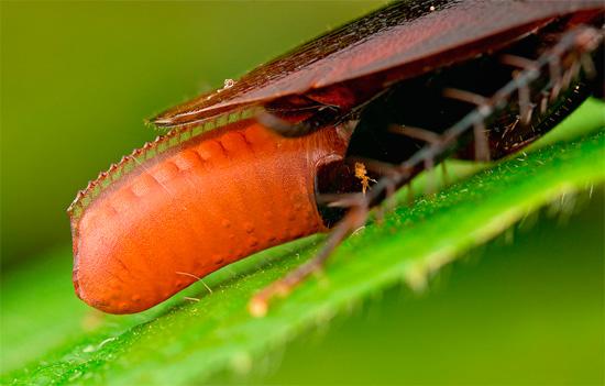 Яйца тараканов, упакованные в специальную защитную оболочку, называются оотекой.